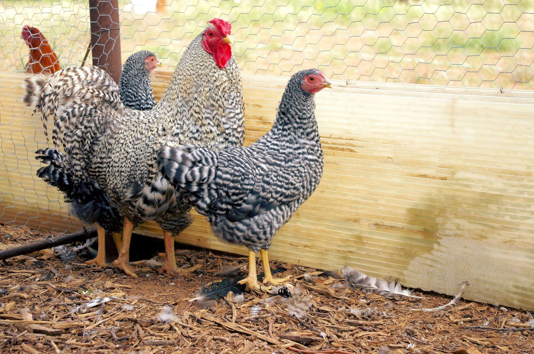 Happy Scratch Chicken Feed