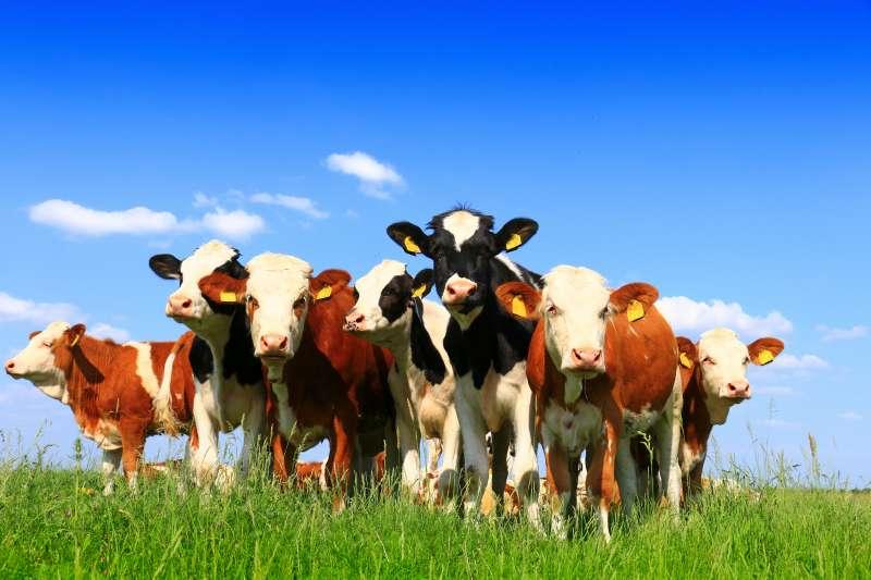 Cattle Feed Light Weaner